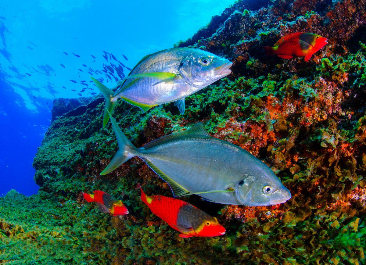 La guía contiene más de 250 fotografías y hasta 78 dibujos de peces en Canarias. Sacha Lobenstein, Greg            Skomal