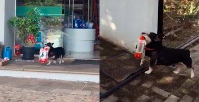 Pituco, el perro que va por su cuenta a comprar su comida