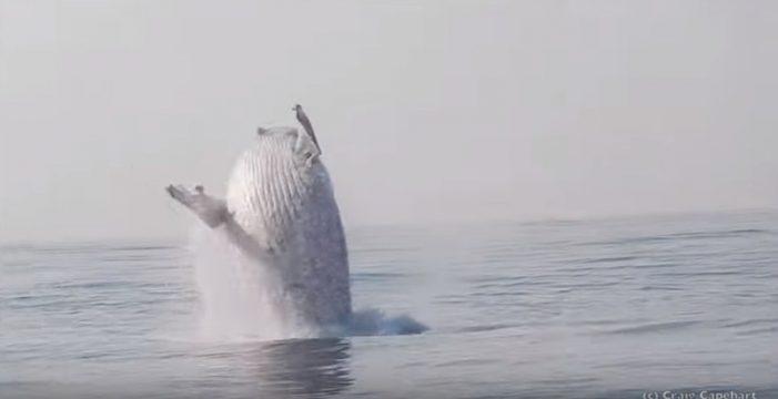 El salto de una ballena jorobada se hace viral por su belleza