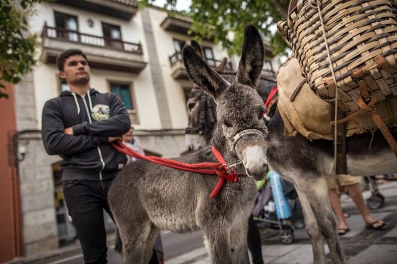 Los más pequeños, y también los adultos, expresaban su sorpresa al ver los animales en medio de la ciudad. Andrés Gutiérrez