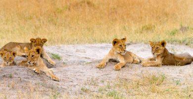 Muere en una partida de caza 'Xanda', el cachorro mayor del león 'Cecil'