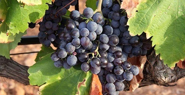 La rápida maduración de las uvas anticipa la temporada de vendimias en España