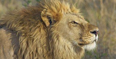Una niña de 10 años muere devorada por un león