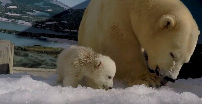Este cachorro de oso polar, el más querido de un zoo de Australia