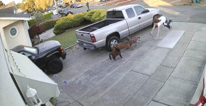 Dos pitbulls casi despedazan a un gato que descansaba en un porche