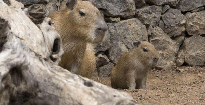 Nace en Tenerife una cría de capibara, el roedor más grande de la naturaleza