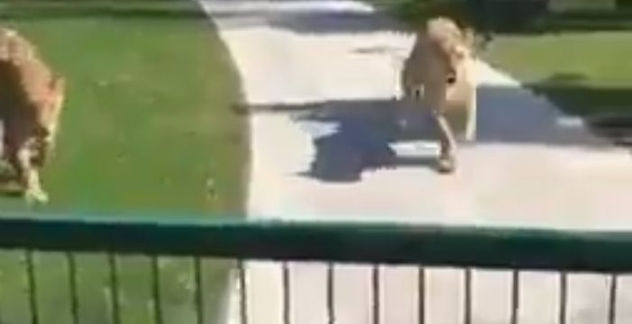 Dos leones donados a un zoo ven a su dueña tras siete años