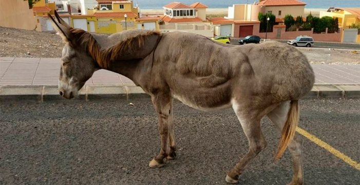 Denuncian el abandono de un burro enfermo en Fuerteventura