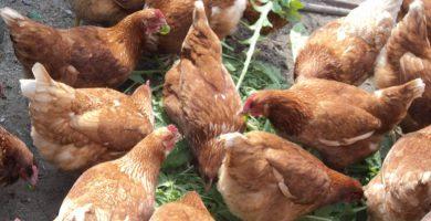 Salud Pública garantiza que no hay huevos contaminados en las Islas