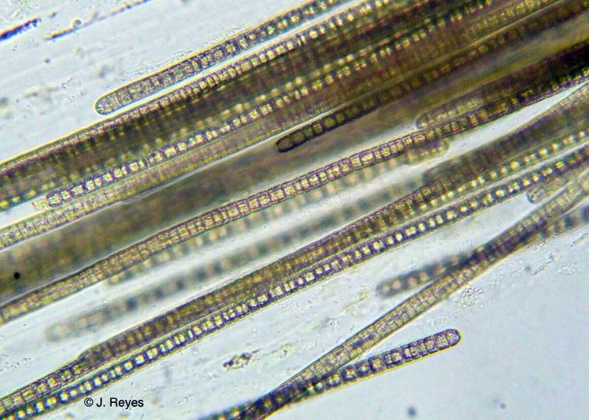 Microalgas al microscopio | DA