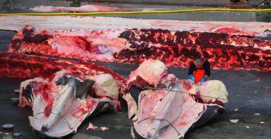 Noruega e Islandia, otros de los grandes cazadores de ballenas