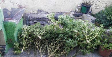 Investigado por cultivar marihuana en una finca de La Gomera