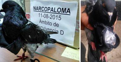 Las 'narcopalomas' nacieron o tuvieron pichones en el interior de Tenerife II
