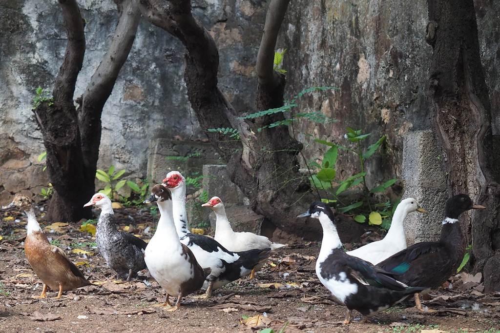 Los patos datan de cuando empezaron a ponerse en la charca de la plaza de la catedral, sobre 1908. S. M.