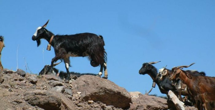 Vía libre a cazar cabras asilvestradas para evitar daños en flora y fauna