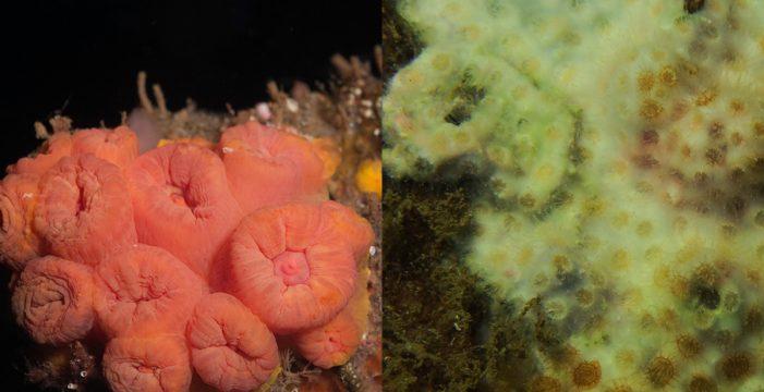 Detectan colonias de corales potencialmente invasoras en Tenerife y Gran Canaria