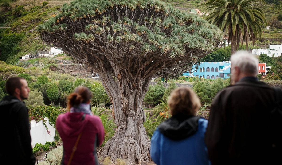 El Drago de Icod de los Vinos, convertido en símbolo de la naturaleza de        Canarias, es siempre un gran reclamo, tanto para vecinos como para foráneos. M. P. P.