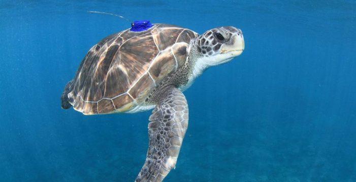 La pesca, el tráfico marítimo y la basura, entre las principales amenazas de la tortuga verde en Canarias