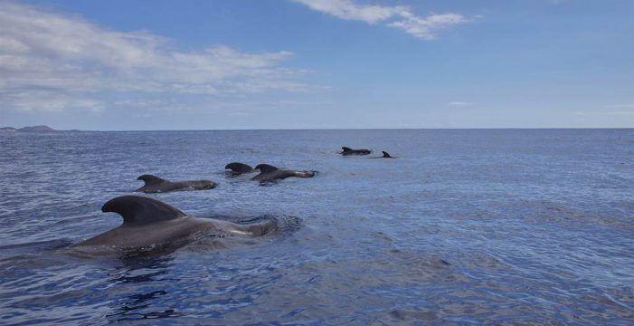 Avistan cientos de delfines moteados en aguas canarias