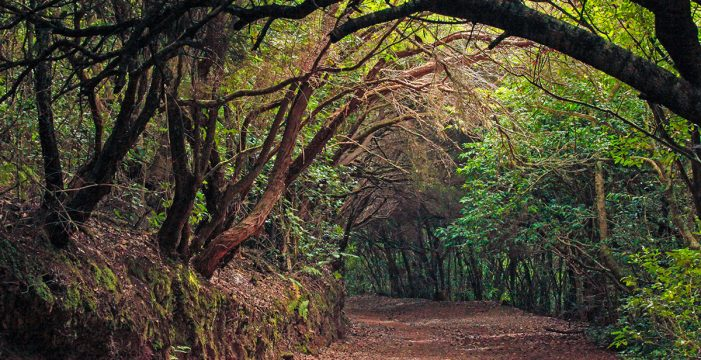 Anaga, guardián de la laurisilva: un bosque en su mejor momento