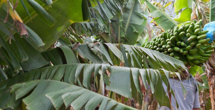 Crisis en el sector del plátano, que amenaza con romper su unidad