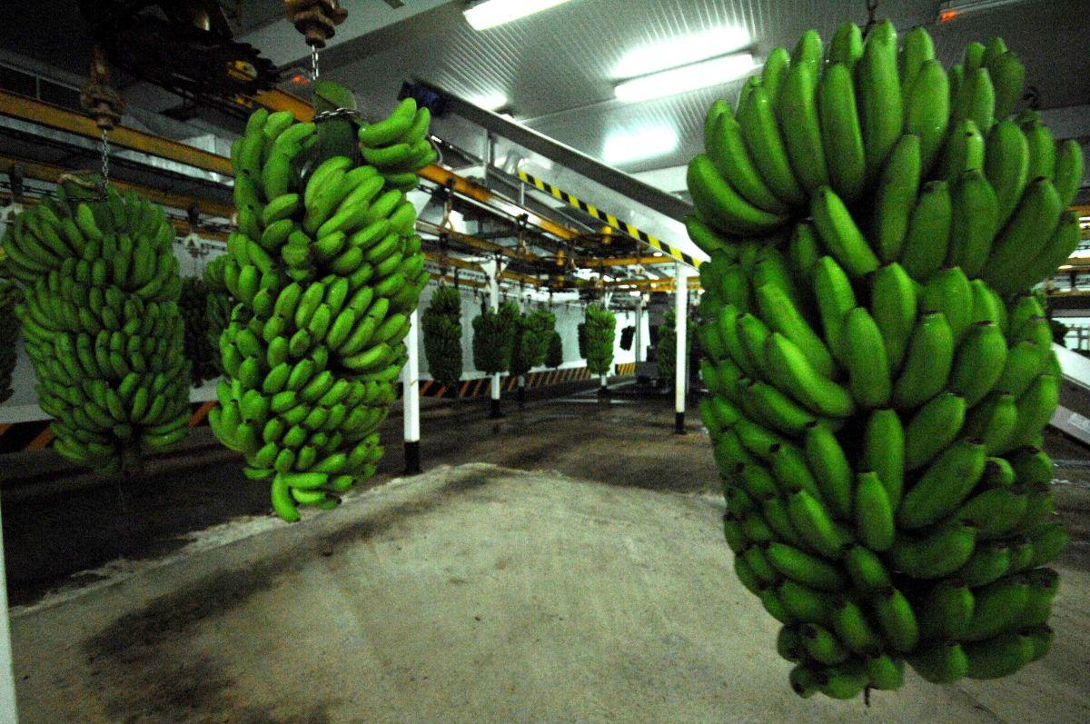 2017 pasará a la historia del plátano de Canarias como uno de los peores. DA