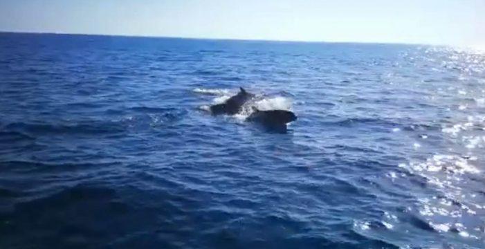 Avistan una manada de orcas pigmeas en La Palma