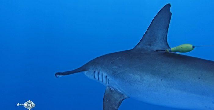 Marcan un tiburón en Canarias para seguir por satélite sus movimientos