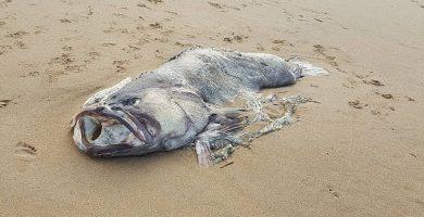El enorme pez, sobre la arena donde fue encontrado. / DAILY MAIL