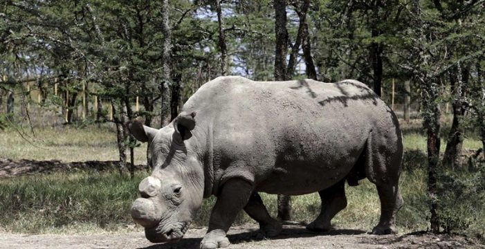 Muere Sudán, el último rinoceronte blanco del mundo