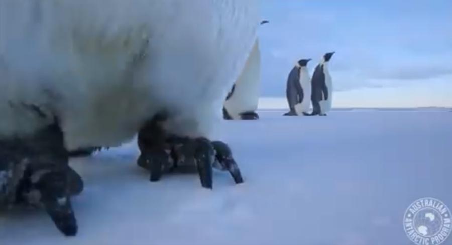 Los curiosos pingüinos de la colonia Auster. / Eddie Gault