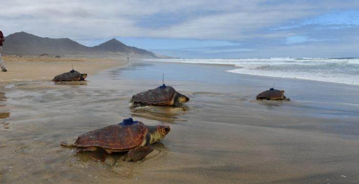 Sueltan cinco tortugas bobas conectadas vía satélite para su estudio