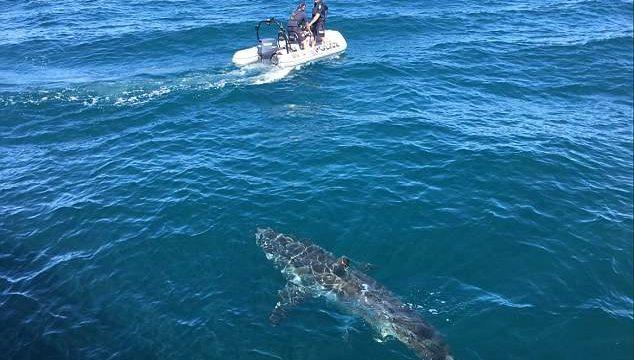 Un enorme tiburón blanco aterroriza a una patrulla policial en Australia