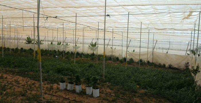 Se incautan de 400 plantas de marihuana en una finca de Guía de Isora