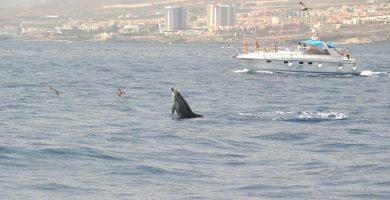 En los últimos años se ha producido un boom de embarcaciones en el suroeste de la Isla para avistar cetáceos. DA