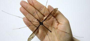 El mosquito más grande del mundo tiene alas de 11 cm y no cabe en la mano