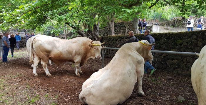 San Isidro presume del mejor ganado vacuno de raza palmera
