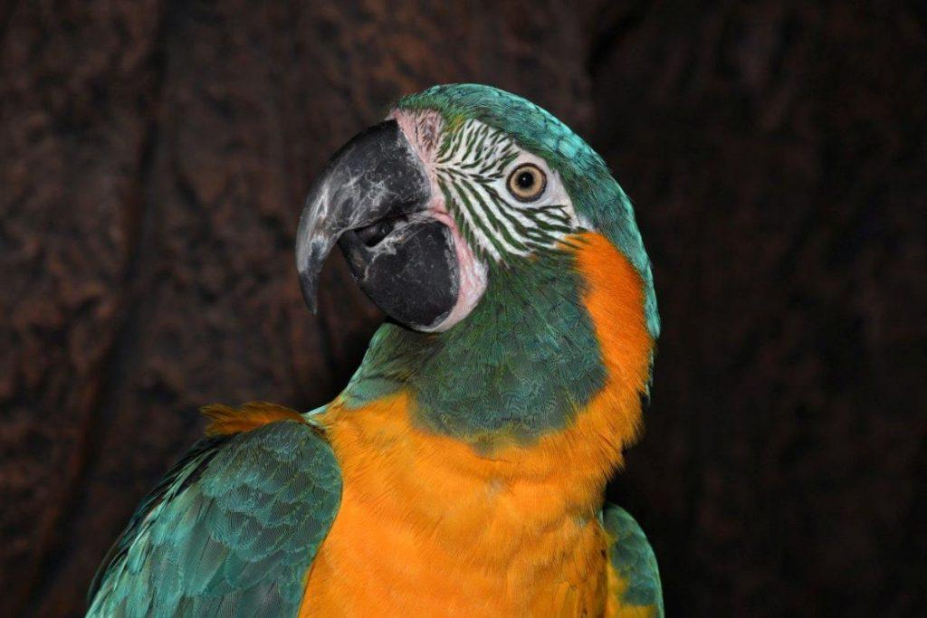 El Guacamayo Barbazul, una auténtica joya de la naturaleza.   DA