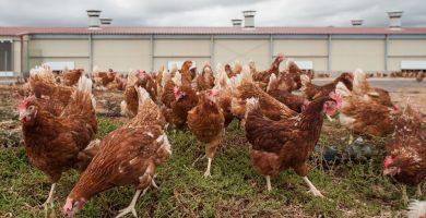 Mercadona vende en sus 85 supermercados del Archipiélago huevos de gallinas camperas procedentes de la granja de Huevos Guillén Canarias.   DA