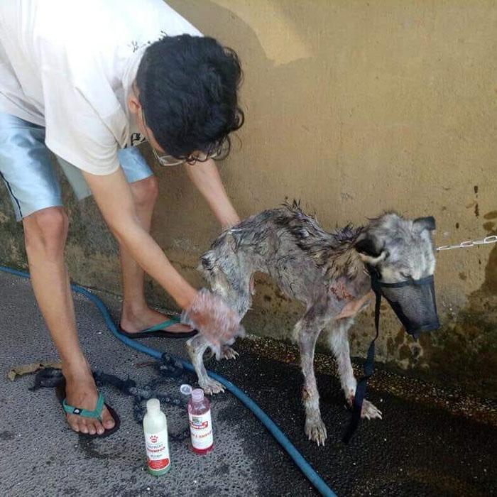 malnourished-husky-nursed-back-rico-soegiarto-bali-3-5af2da44a71e0__700