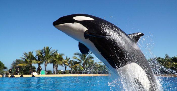 La orca Morgan, del Loro Parque, ya es mamá de una hermosa cría
