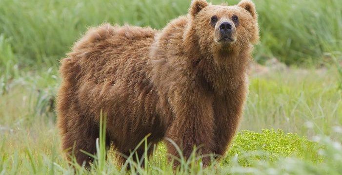 Grave ataque de un oso a una mujer de 75 años en Asturias; le desgarró la cara