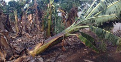 La producción de plátano, la más baja de la última década