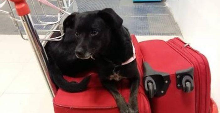 Piden ayuda para encontrar a Piny, una perrita perdida durante un trasbordo en el aeropuerto de Madrid
