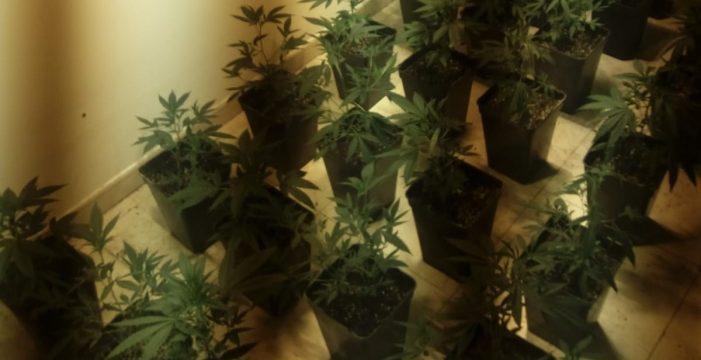 Detenido en Lanzarote por plantar más de 80 plantas de marihuana en su casa
