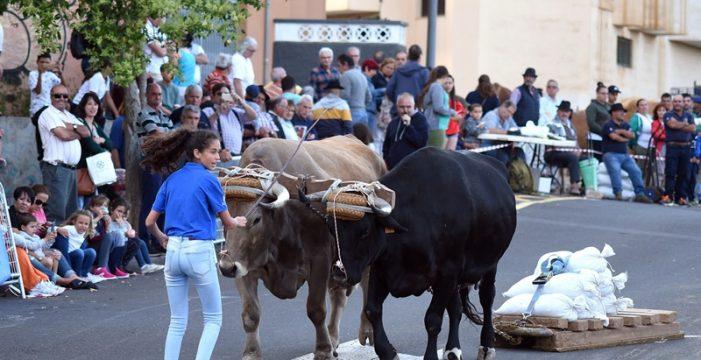 La cantera del arrastre de ganado canario vuelve a demostrar su gran nivel con motivo de las fiestas de San Benito Abad