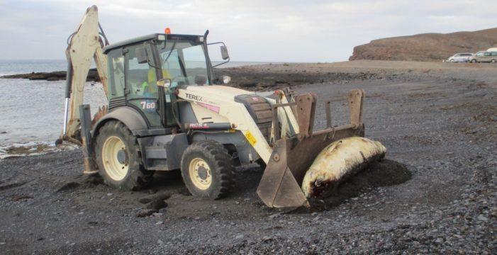 Aparece varado un cachalote pigmeo en Fuerteventura