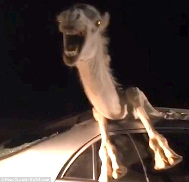 El camello, agonizando dentro del coche tras el accidente. / DAILY MAIL