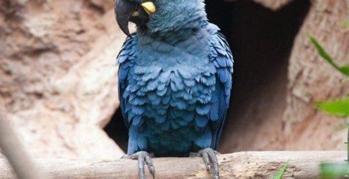 Loro Parque traslada seis loros a Brasil para su reinserción en el medio natural
