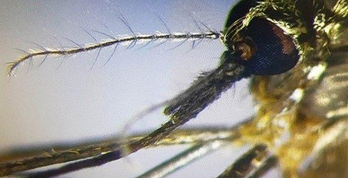 Logran erradicar en Canarias el mosquito que transmite el dengue